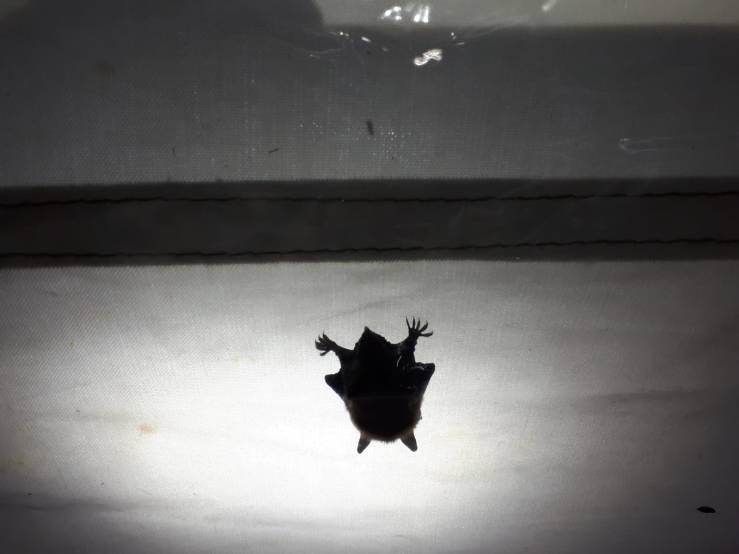Darrian Bat
